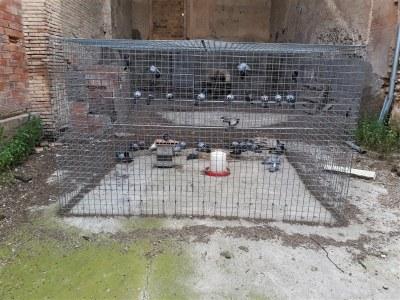 Benavent de Segrià posa en marxa accions per reduir la població de coloms al municipi